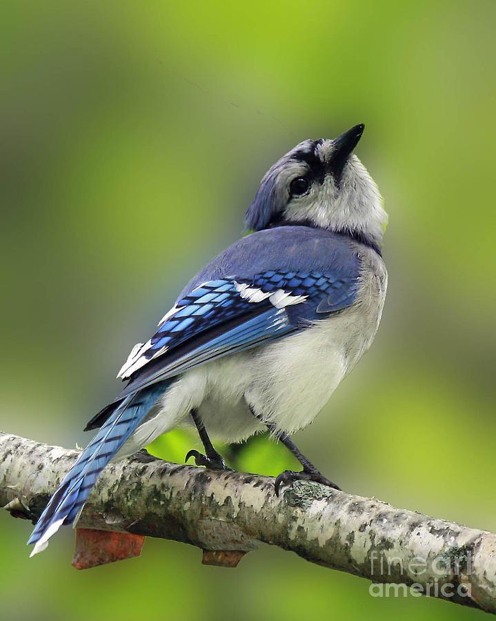 Art Card Photograph - Curious Blue Jay by Inspired Nature Photography Fine Art Photography