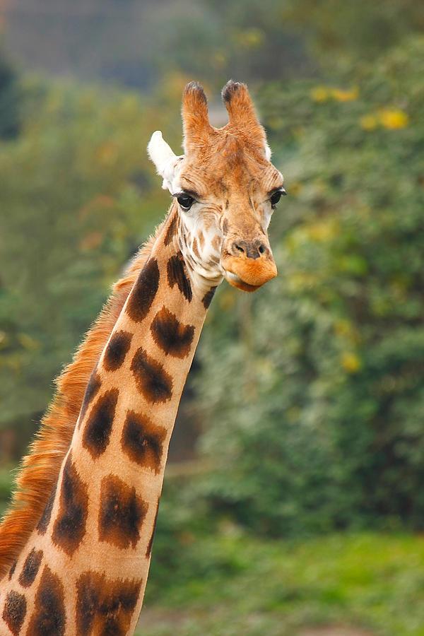 Curious Giraffe Photograph by Naman Imagery