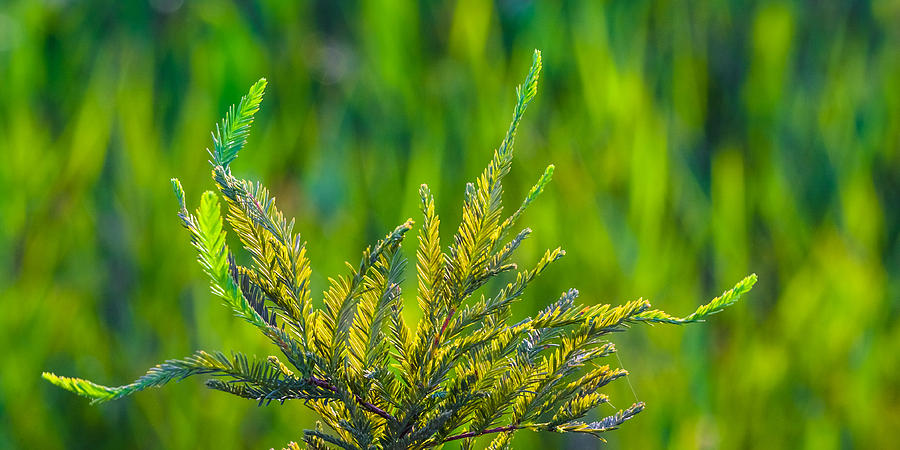 Cypress Branches In A Field Of Green Photograph