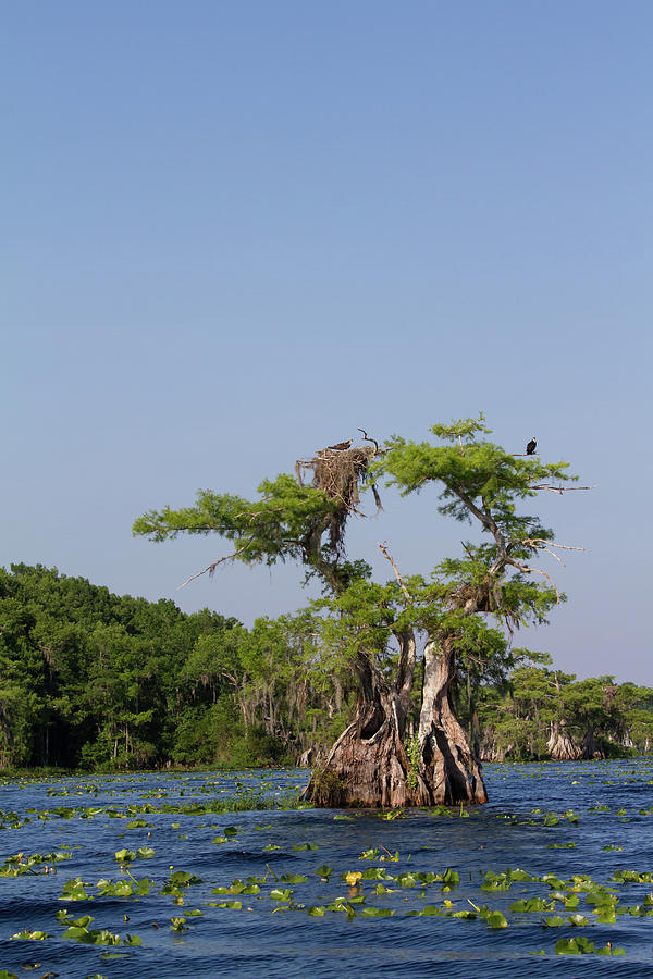 Cypress Osprey Duo Photograph