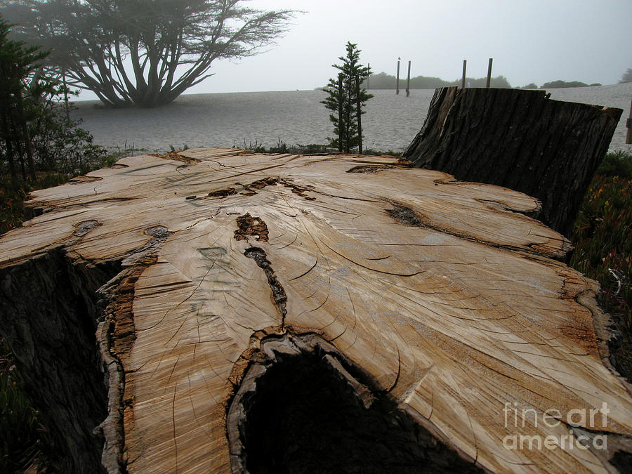 Cypress Stump Photograph