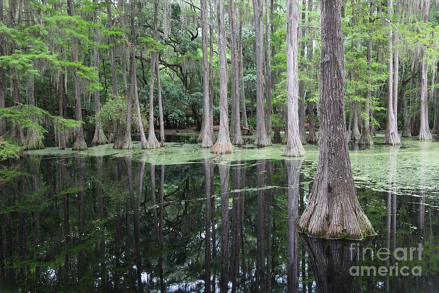 Cypress Swamp Photograph - Cypress Swamp by Carol Groenen