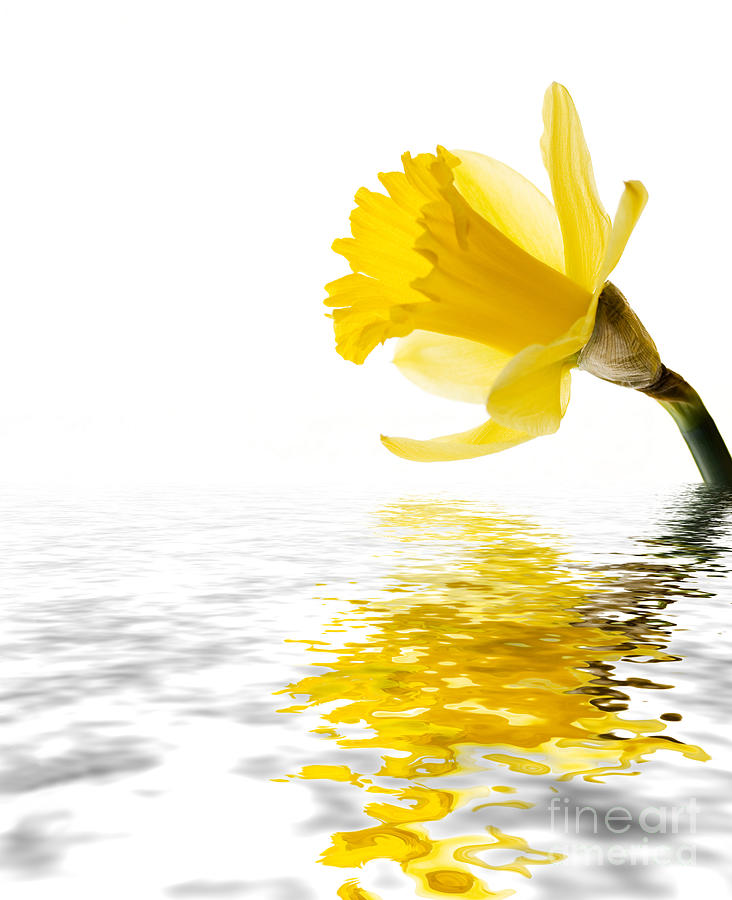 Background Photograph - Daffodil Reflected by Jane Rix