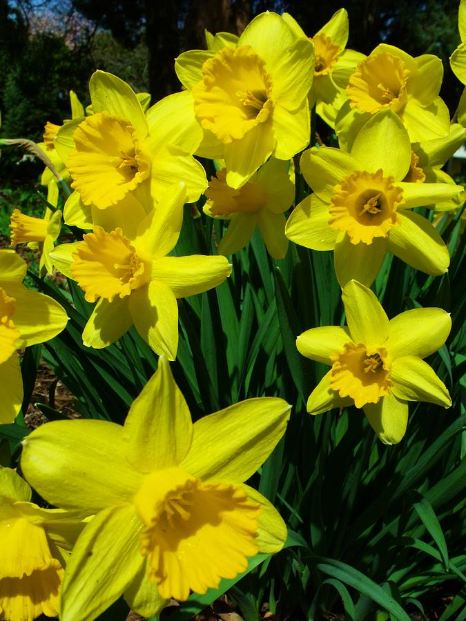 Flowers Photograph - Daffodils 2010 by Anna Villarreal Garbis