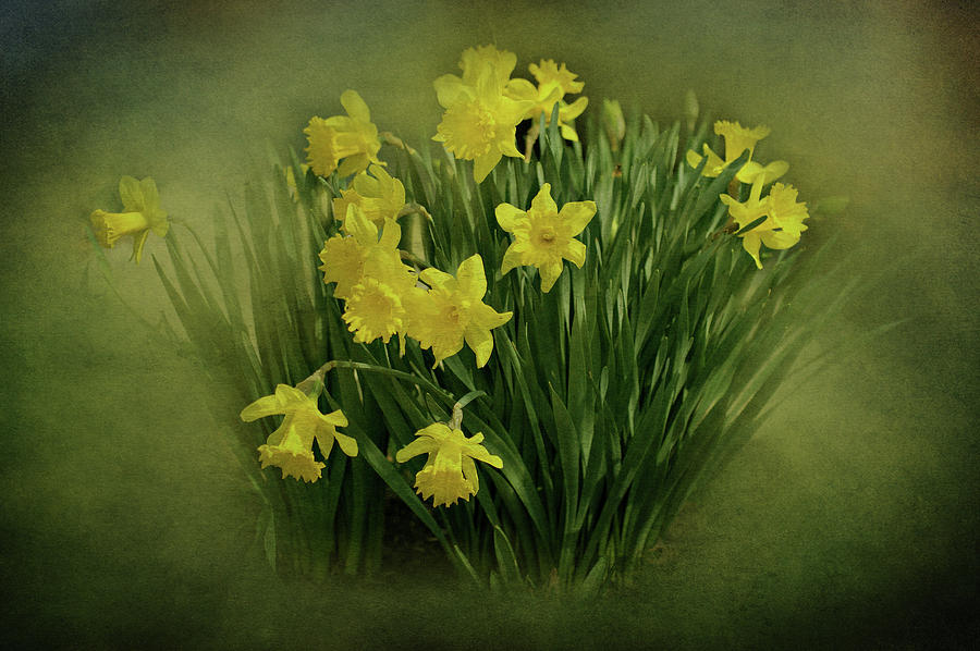 Daffodils Photograph - Daffodils by Sandy Keeton