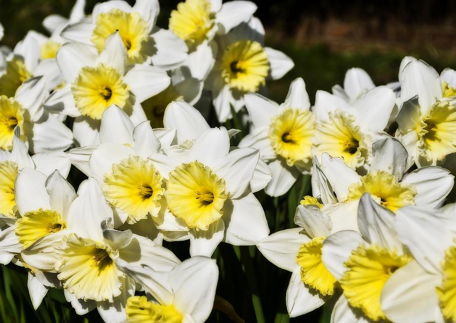 Flowers Photograph - Daffodils by Svetlana Sewell