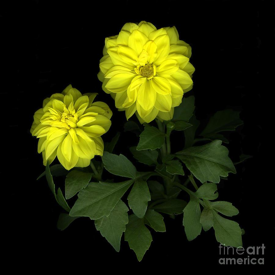 Yellow Photograph - Dahlia by Christian Slanec