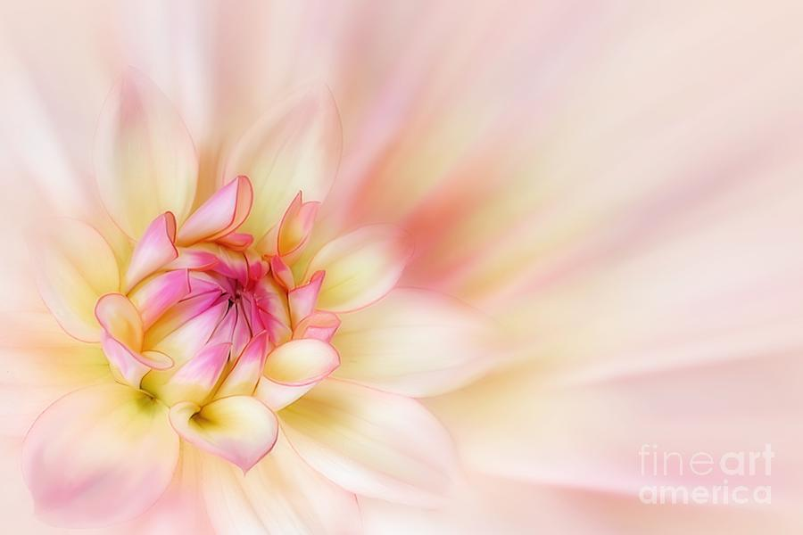 Flower Photograph - Dahlia by John Edwards