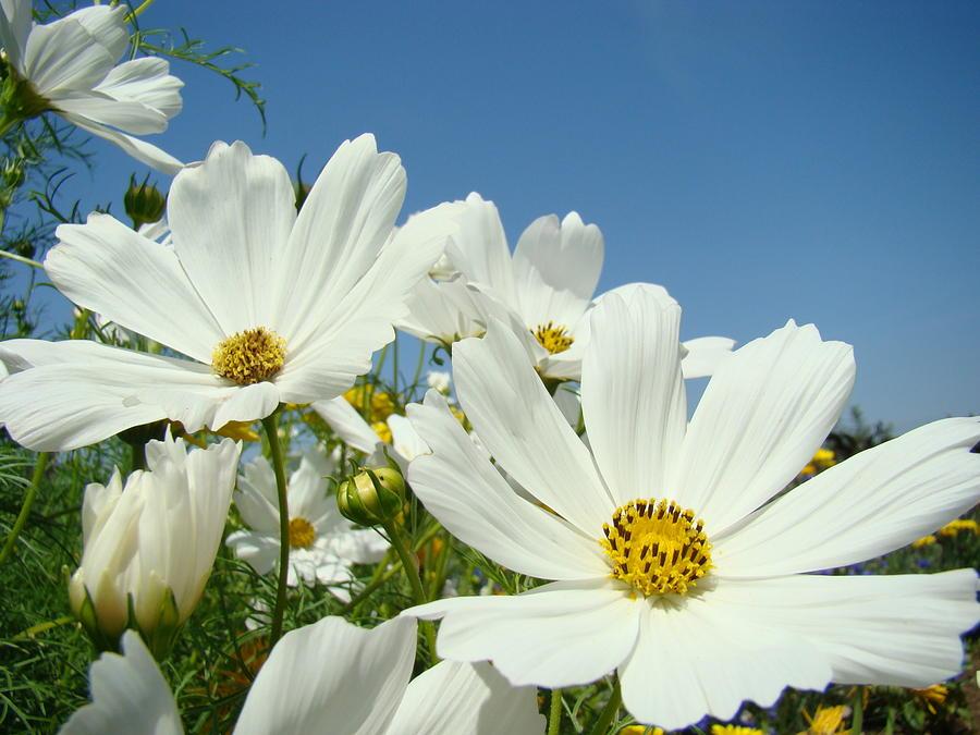 Daisies Flowers Art Prints White Daisy Flower Gardens Photograph