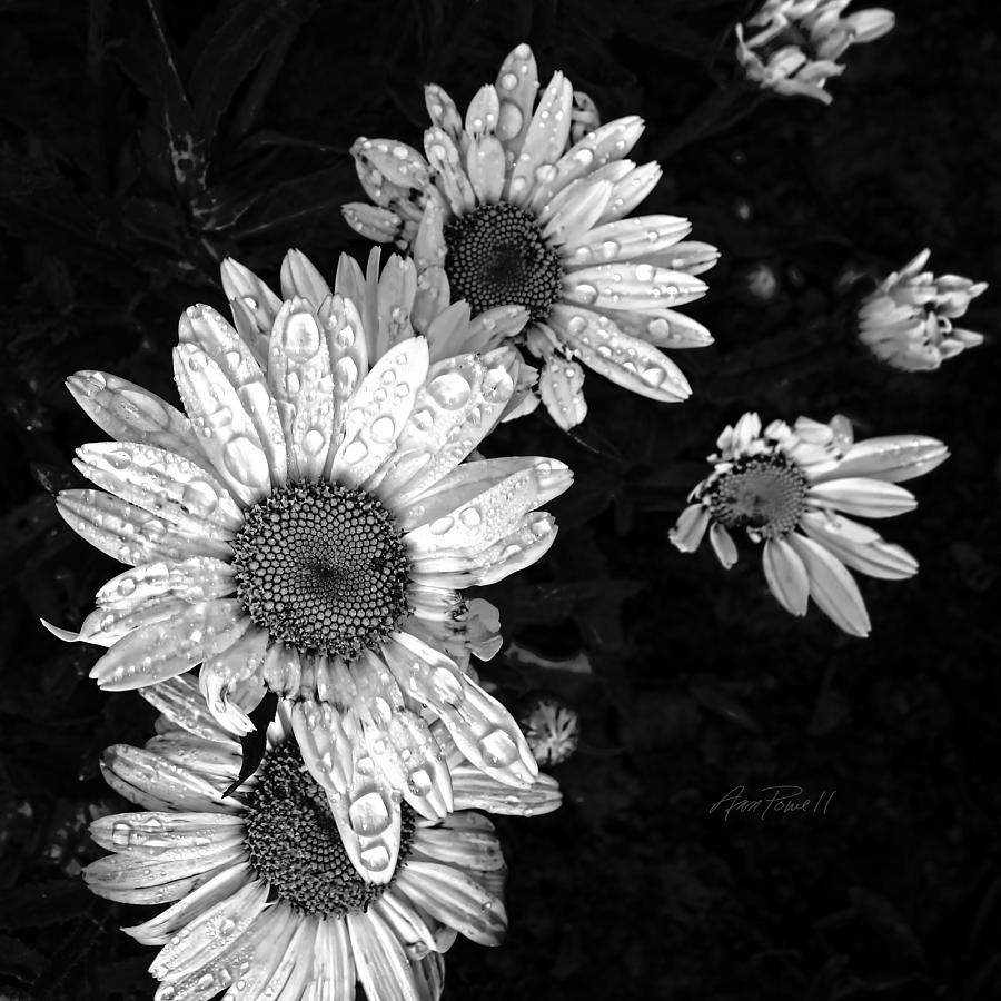 Daisies In Black And White - Photography Photograph by Ann ...