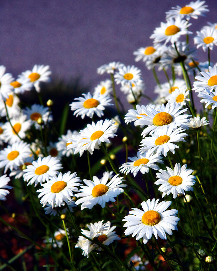 Daisies Photograph - Daisies by Lana Trussell