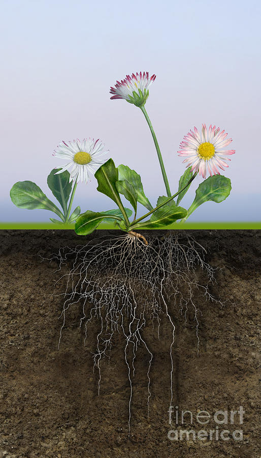 Daisy Bellis Perennis - Root System - Paquerette Vivace - Margar Painting