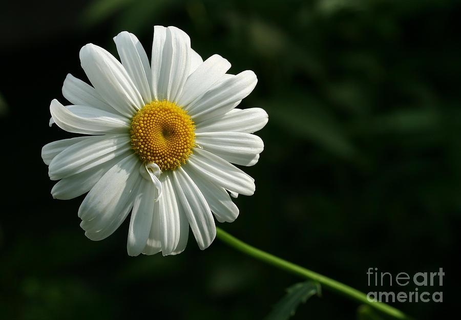 Flower Photograph - Daisy  by Steve Augustin