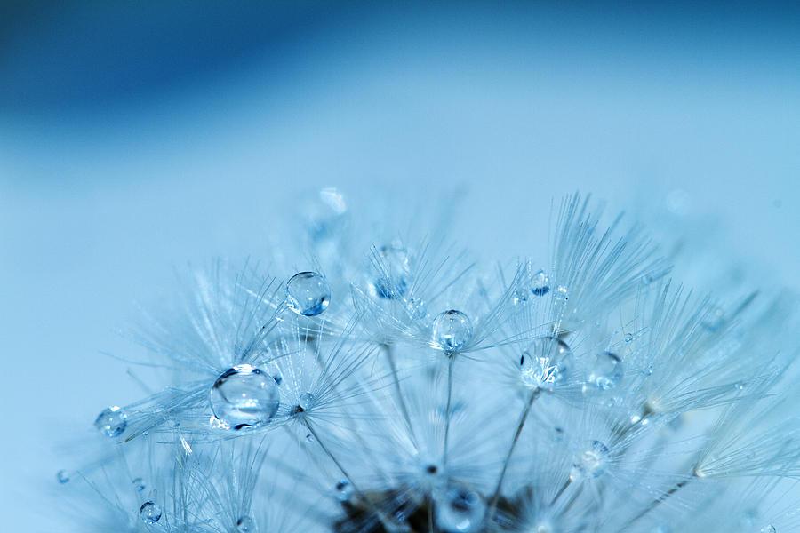 Dandelion Bouquet Photograph