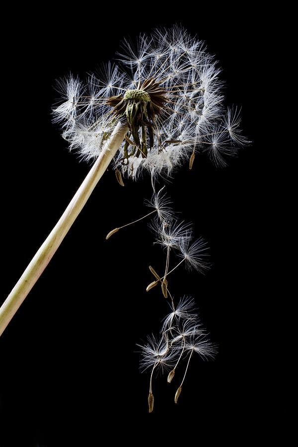 Dandelion Loosing Seeds Photograph - Dandelion Loosing Seeds by Garry Gay