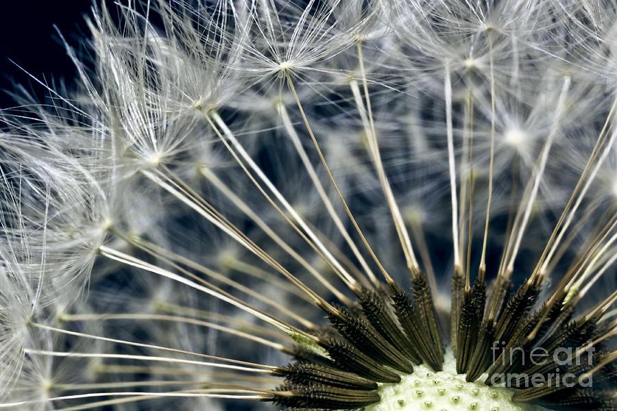 dandelion Snow Photograph - Dandelion Seed Head by Ryan Kelly