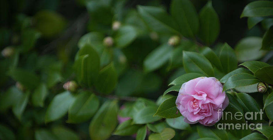 December Blooming Camellia Flowering Plant Photograph