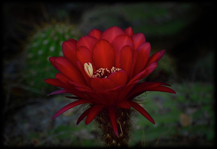Red Torch Cactus Photograph - Deep Red by Saija  Lehtonen