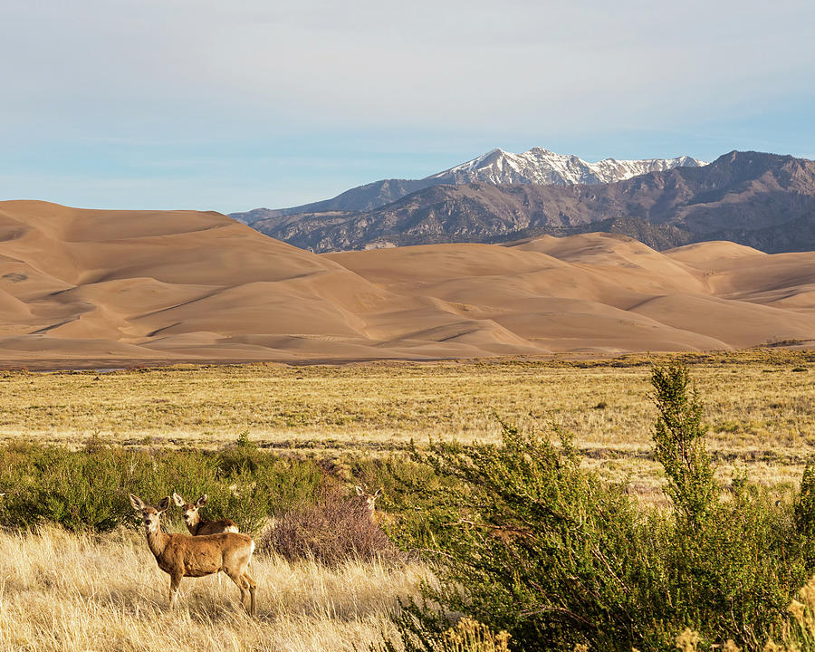Deer And The Colorado Sand Dunes Photograph
