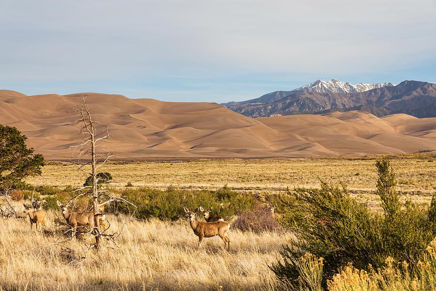 Deer On The Plains Great Colorado Sand Dunes Photograph