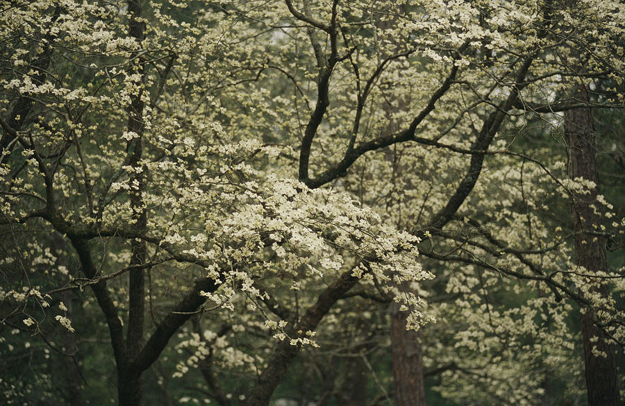 United States Of America Photograph - Delicate White Dogwood Blossoms Cover by Raymond Gehman