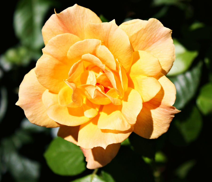 Rose Photograph - Delicate Yellow Petals by Cathie Tyler