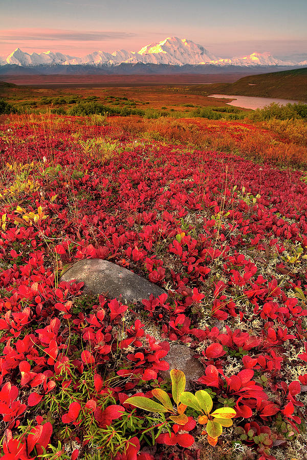 Vertical Photograph - Denali National Park Fall Colors by Kevin McNeal