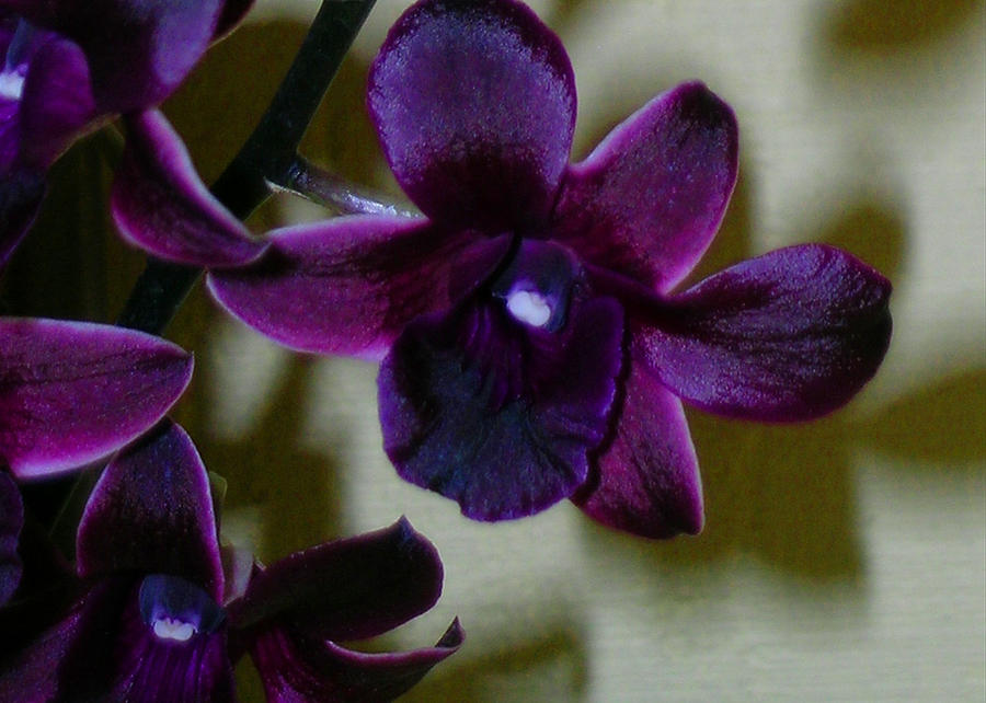 dendrobium nobile orchid photograph by james temple. Black Bedroom Furniture Sets. Home Design Ideas
