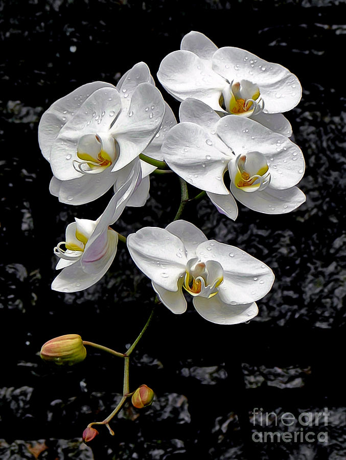 Orchid Photograph - Dew-kissed Cascading Orchids by Sue Melvin