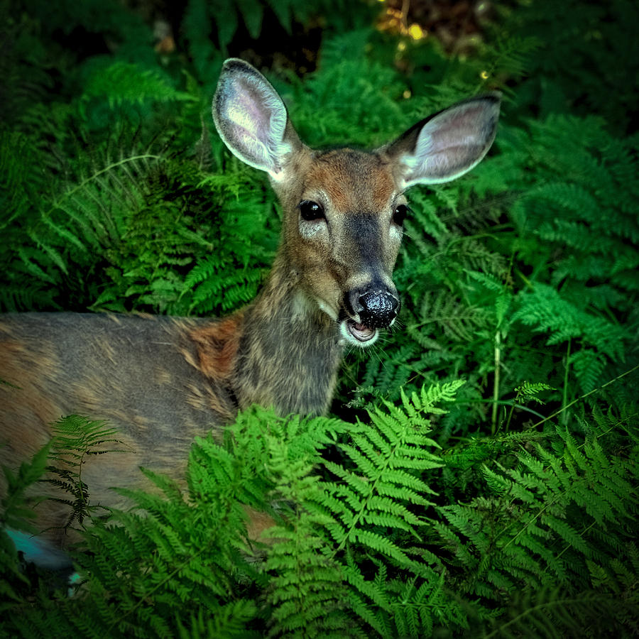 Doe in the woods photograph by david patterson for Patterson woods