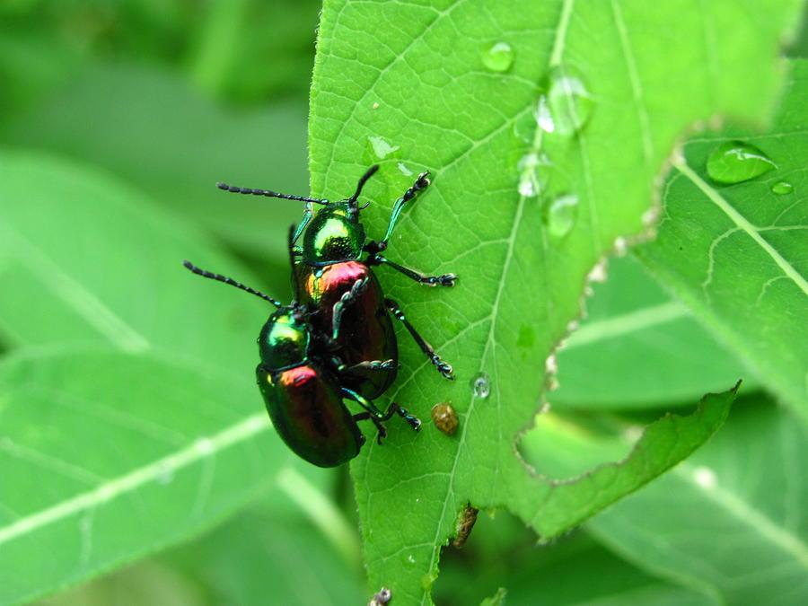 Beetle Reproduction Dogbane Beetles Photog...