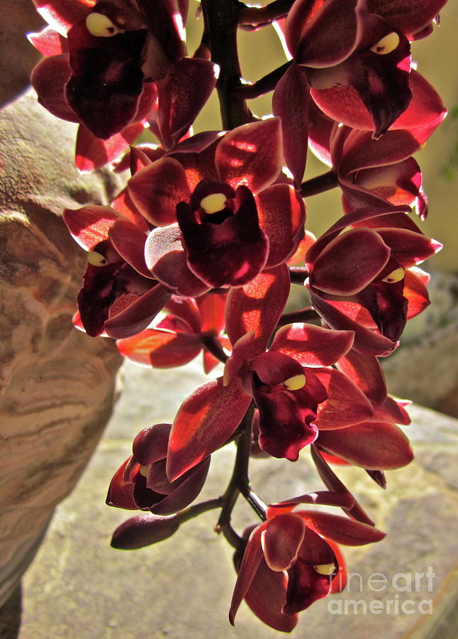 Orchid Photograph - Donatelli by Gwyn Newcombe