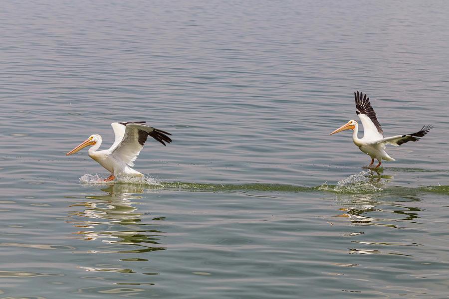 Double Pelican Splash Down Photograph