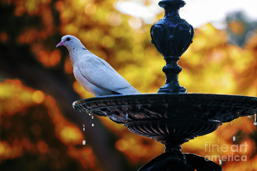 Dove On Fountain Genovese Park Cadiz Spain Photograph