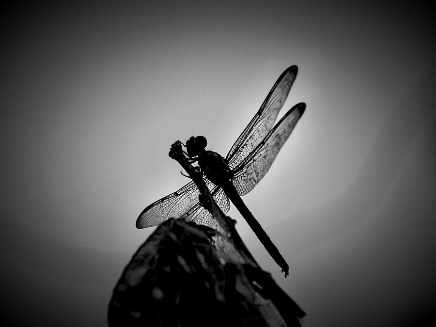 Dragonfly Photograph - Dragon Fly by William Jones