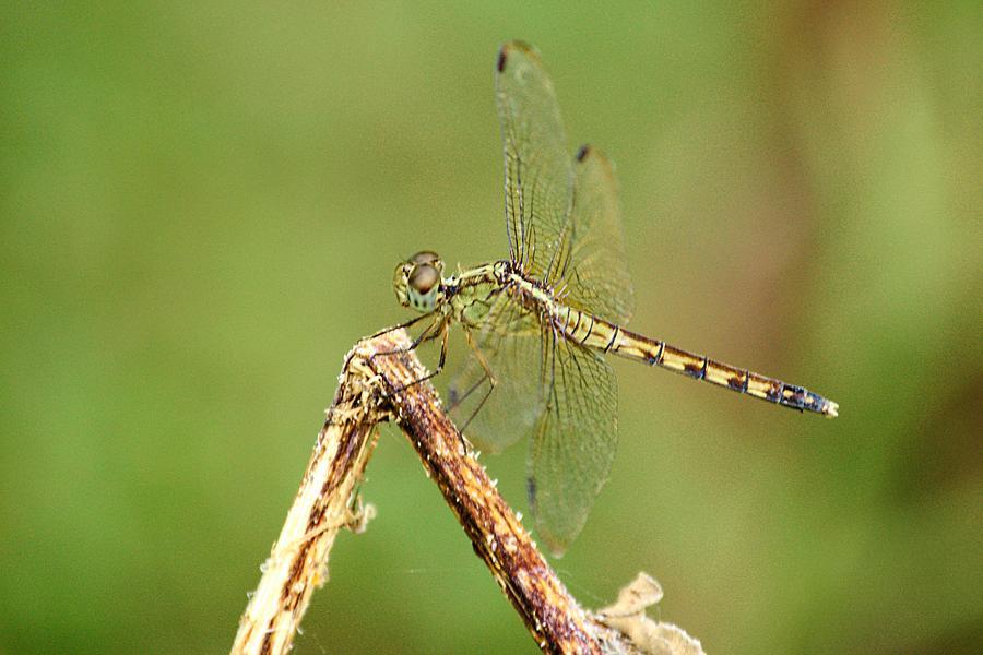 Dragonfly by Daniel Nieves
