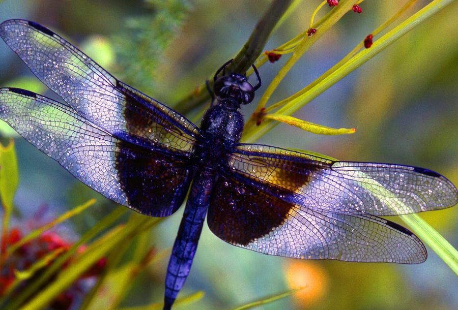 Dragonfly Photograph - Dragonfly by Tony Ramos