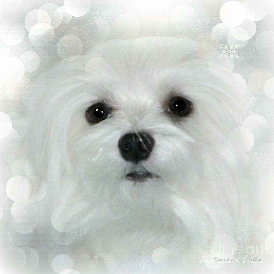 maltese Dog Photograph - Dreams In White by Morag Bates