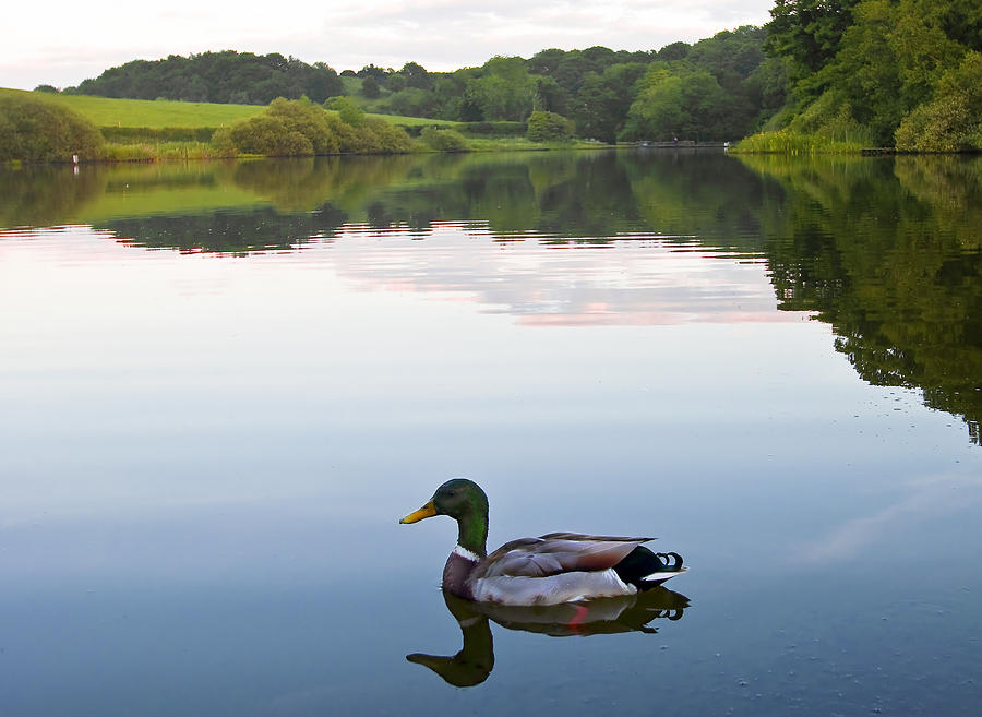 Background Photograph - Duck by Svetlana Sewell