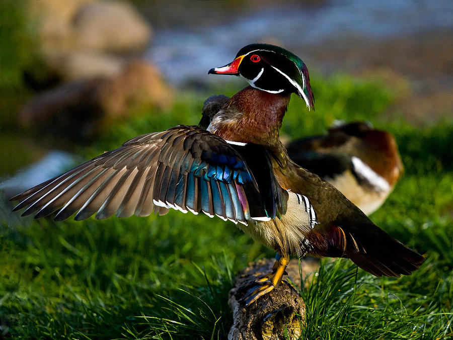 Duck Wing Photograph by BuffaloWorks Photography