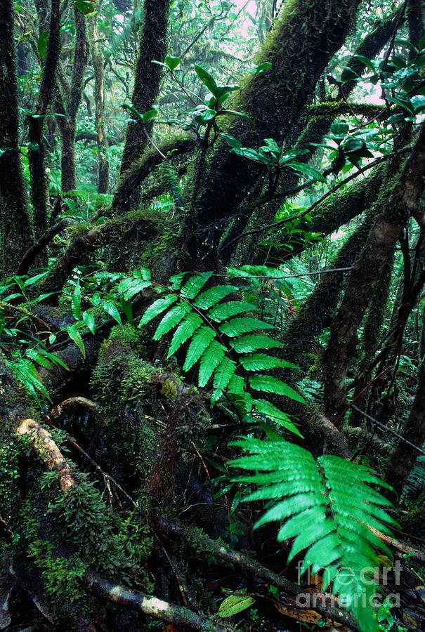 Puerto Rico Photograph - Dwarf Forest El Yunque by Thomas R Fletcher