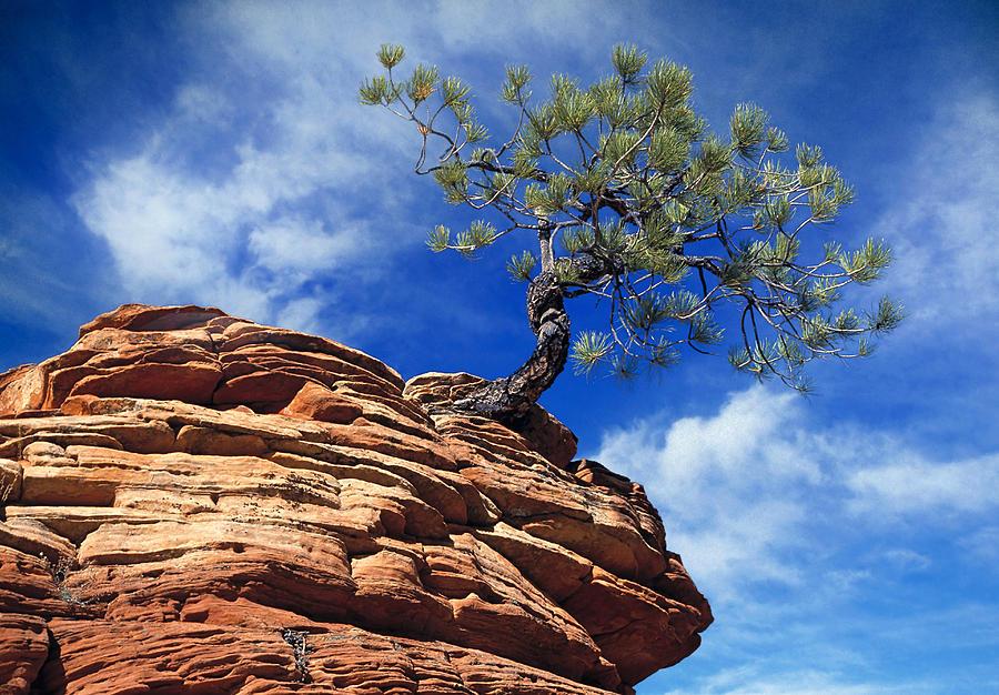 Dwarf Pine And Sandstone Zion Utah Photograph