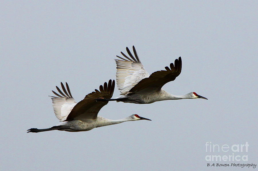 Sandhill Crane Photograph - Dynamic Duo by Barbara Bowen
