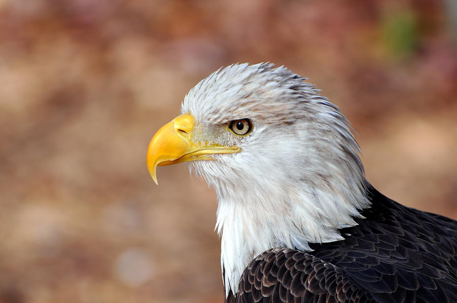 Eagle Photograph - Eagle 10 by Marty Koch