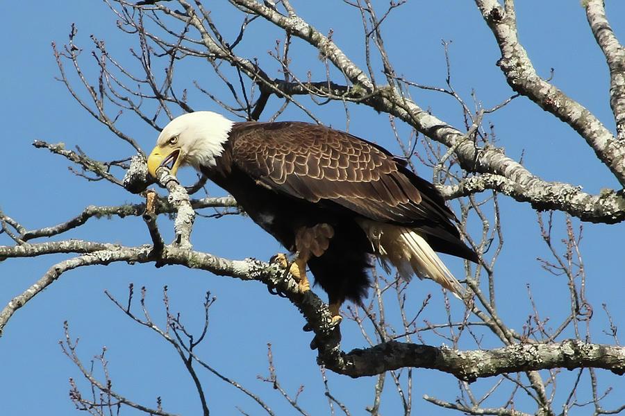 Eagle Nest Building Photograph