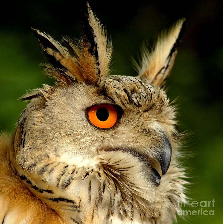 Wildlife Photograph - Eagle Owl by Jacky Gerritsen