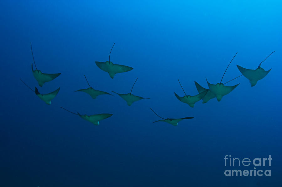 Aetobatus Photograph - Eagle Rays In Ocean by Dave Fleetham - Printscapes