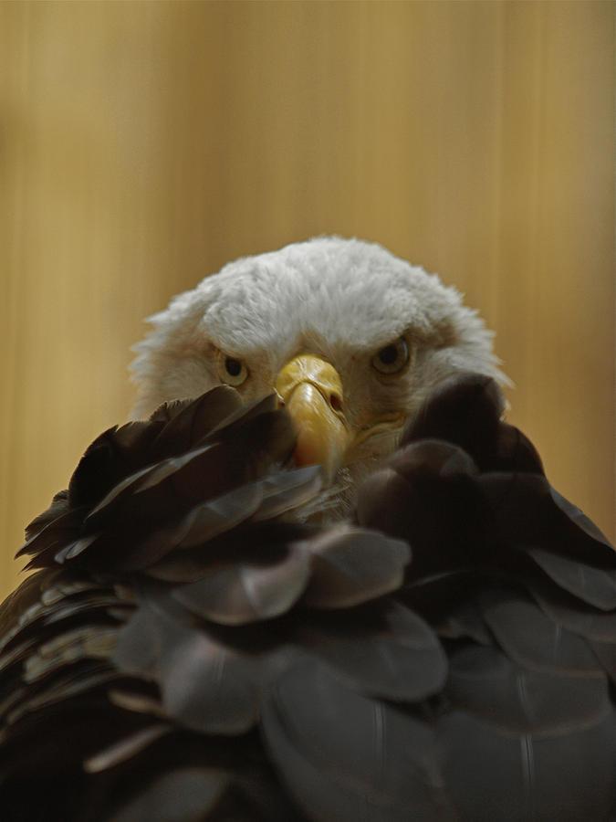 Eagle Thinking Photograph