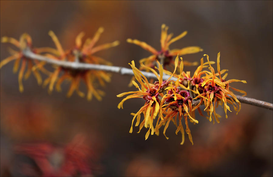 Spring Photograph - Early Spring Buds by Robert Ullmann