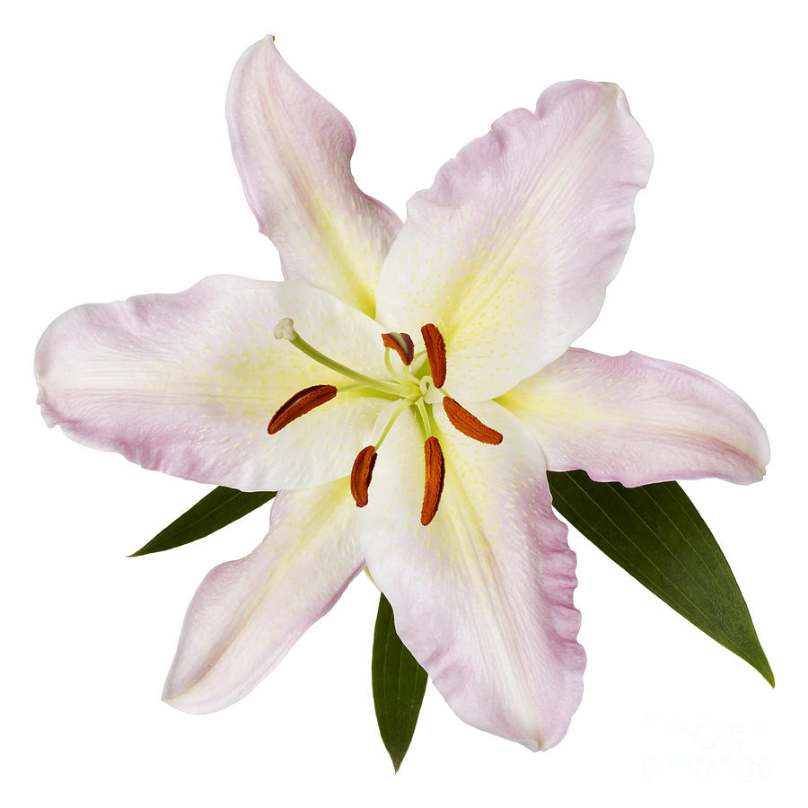 Easter Lilly 1 Photograph